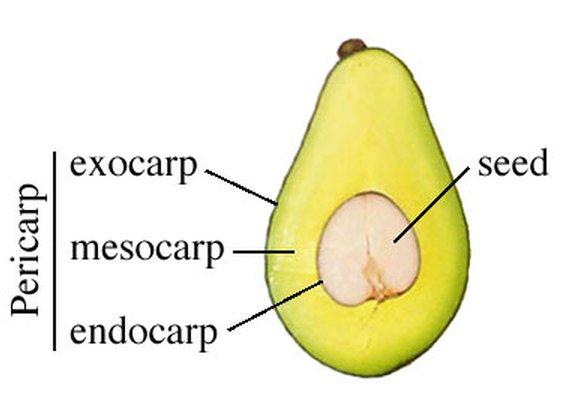 What kind of fruit is the avocado?