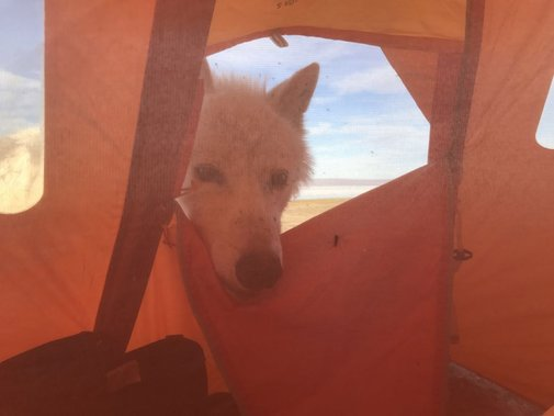 Ottawa biologist meets wolf — at 1 a.m. in his tent