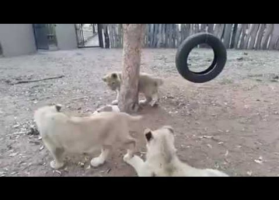 Puppy Not Intimidated By Lion Cubs