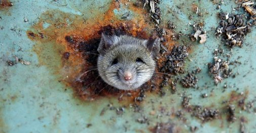 DNA Shows New York Has 'Uptown' and 'Downtown' Rats