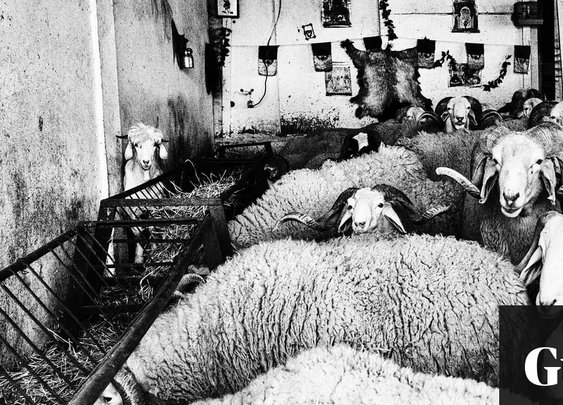 The brutal world of sheep fighting: the illegal sport beloved by Algeria's 'lost generation'