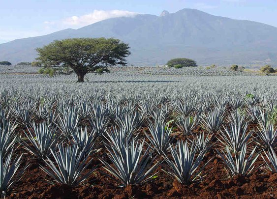 Tequila vs. Mezcal Cheat Sheet