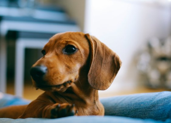 Oklahoma Woman Killed in Attack by Pack of Dachshund Dogs