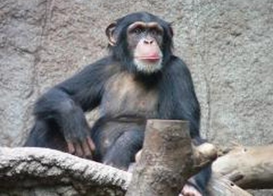 Researches find poop-throwing by chimps is a sign of intelligence