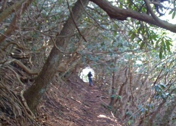 Tunnel of Mountain Laurel