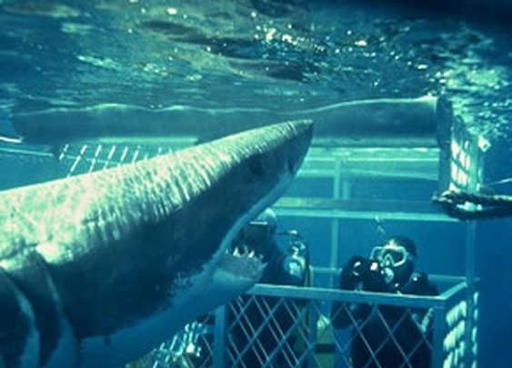 Great White Shark cage diving in Gansbaai Gans Bay South Africa