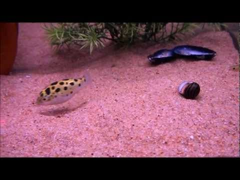 Puffer fish chases laser      - YouTube