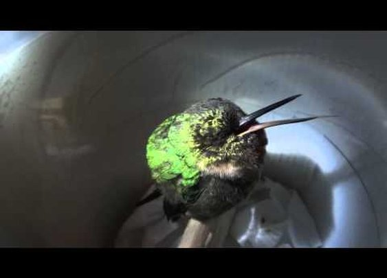 Ever wonder what a hummingbird sounds like when its snores? Wonder no more...