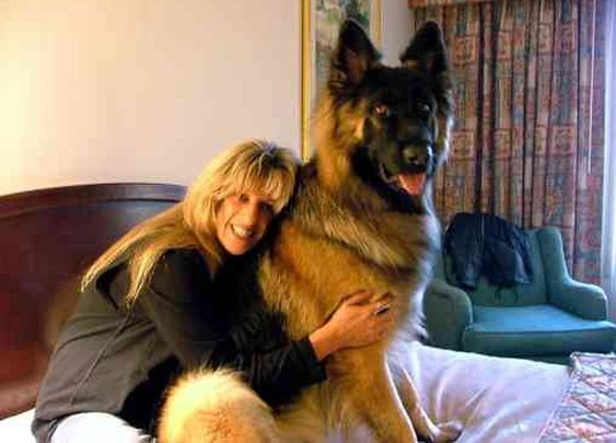 King Shepherd Home page