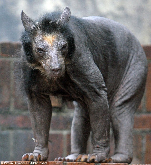 Bear which lost its hair