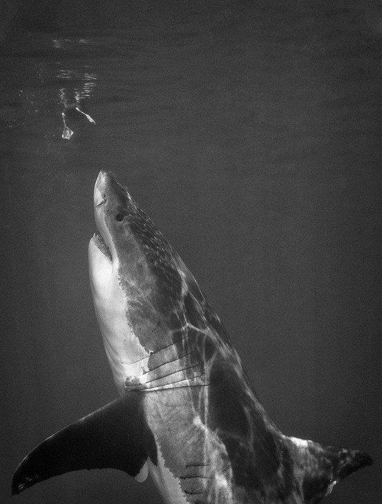 Great White Shark looking at an albatross's feet...