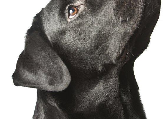 black lab - Bing Images