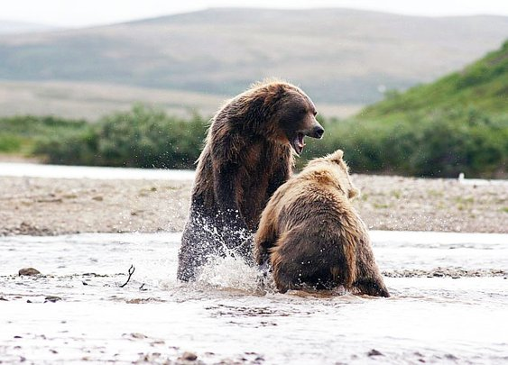 Photos From a Field and Stream Reader: Alaskan Grizzly Fight