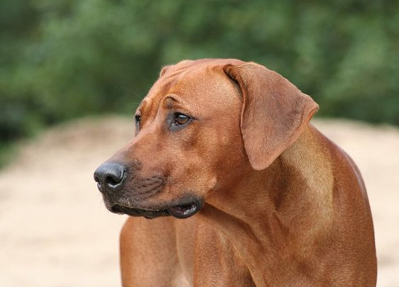 Dogs for Men - Rhodesian Ridgeback