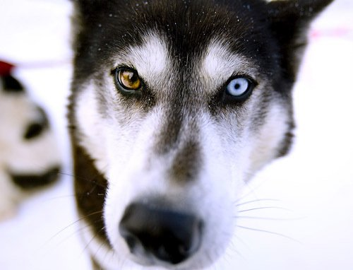 The Dogs Of Iditarod
