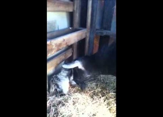 Mama Goat and her 2 Baby Girls      - YouTube