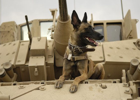 Dogs for Men - Belgian Malinois (The preferred dog of the U.S. Navy SEALs)