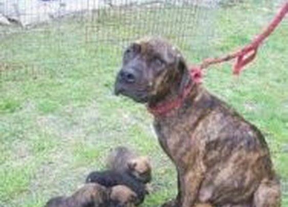 Petfinder Adoptable Dog   Mastiff   Inverness, FL   Daisy Duke