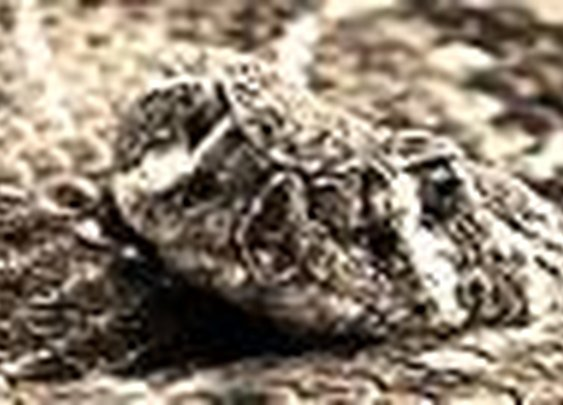 Rattlesnake Republic : Animal Planet
