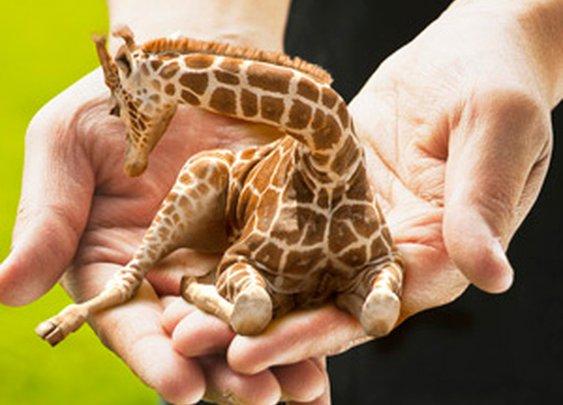 Sokoblovsky Farms - Russia's Finest Purveyors of Miniature Lap Giraffes