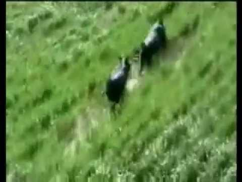Pig Hunting from a Helicopter   [[[ Music by JAG Camp ]]]      - YouTube