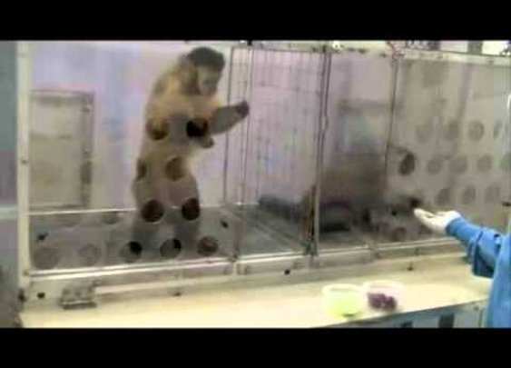 Monkey's Reaction To Fairness Experiment!     - YouTube