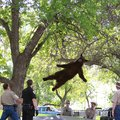 The Best Ever Photo of A Bear Falling From a Tree