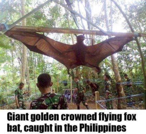 Giant Golden-Crowned Flying Fox
