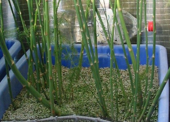 The History of Asparagus, How to Grow Asparagus