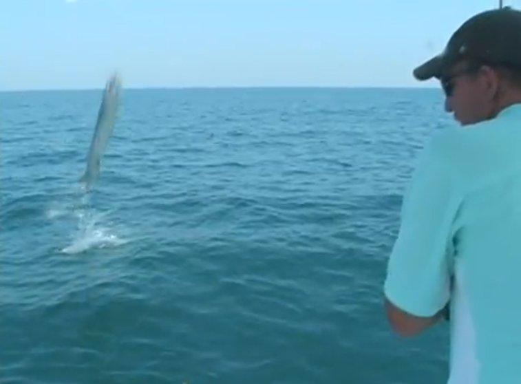 40 lb Barracuda