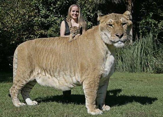 Lion + Tiger = Liger