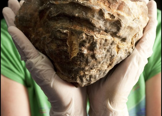 World's Biggest Pearl? Massive Oyster Could Contain Golf-Ball Sized Gem