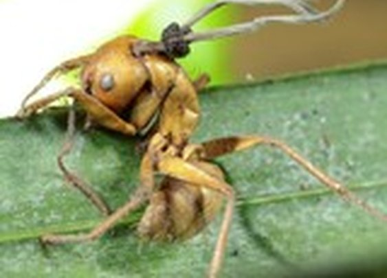 "Photos: ""Zombie"" Ants Found With New Mind-Control Fungi"