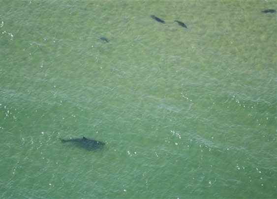 Great white shark sightings prompt swimming ban off Cape Cod - U.S. News