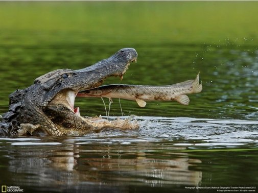 Fish jumping into an alligator's mouth - 22 Words
