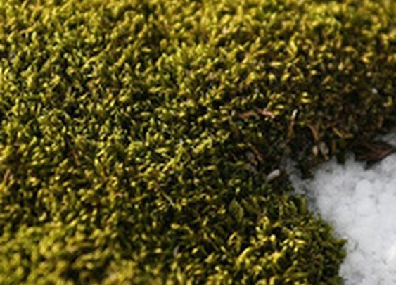 Antarctic moss survives by eating 5,000-year-old penguin poop