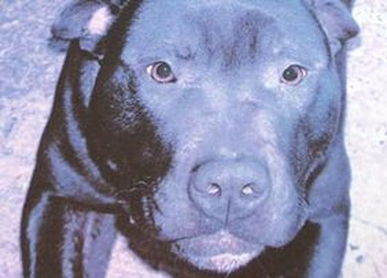 Heartbreak as death row dog Lennox destroyed by Belfast council - Northern Ireland, Local & National - Belfasttelegraph.co.uk
