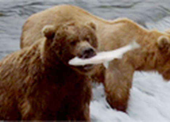 Live Feed to Brown Bears Fishing for Salmon in Alaska