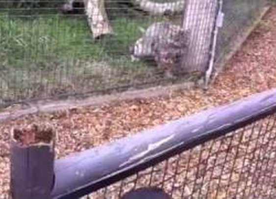 Snow leopard surprise attacks a squirrel      - YouTube