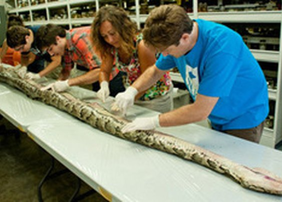 Florida's Biggest Python So Far Measured 17 Feet, 7 Inches; Had 87 Eggs : The Two-Way : NPR