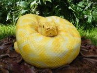Would you eat this Albino Burmese Python? It's sweet and tasty; seriously!