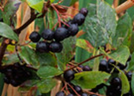 Into the Wild and other Poisonous Plant Fables «  Forager's Harvest