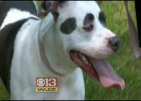 Pit Bull Owners Face Decision To Abandon Their Dogs Or Be Evicted From Their Homes « CBS Baltimore