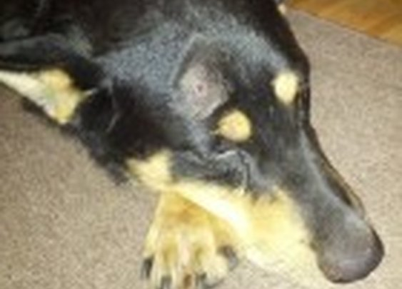 Miracle Dog Survives and is Adopted After Being Shot in the Head   Life With Dogs