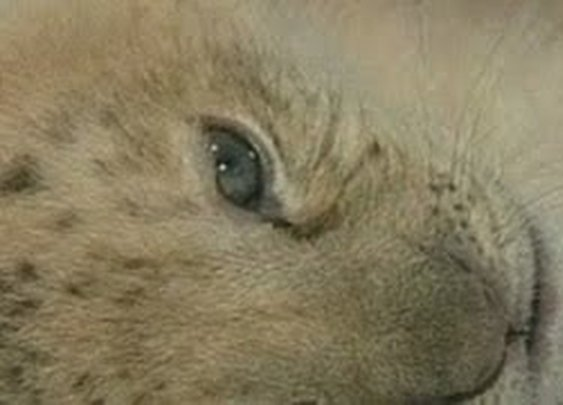 Meet the world's first liliger, a hybrid of a lion and a liger - YouTube