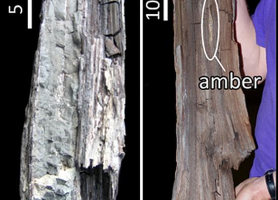 50-million-year-old redwood chunk found