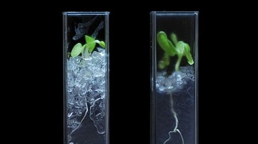 Scientists invent transparent soil to reveal the secret life of plants
