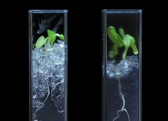 Scientists invent transparent soil to reveal the secret life of plants
