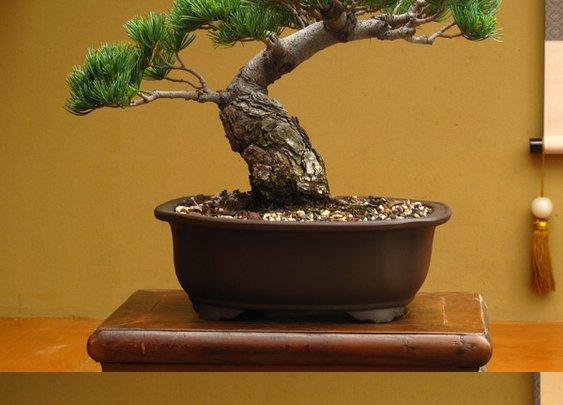 New England Bonsai Gardens: Japanese White Pine (O)