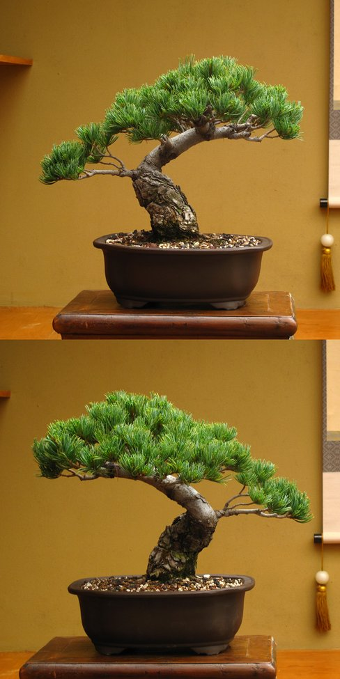 New England Bonsai Gardens Japanese White Pine O Gentlemint